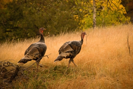 animals hunting: Two wild turkeys stroll through a field during an Autumn afternoon at Meuller State Park, Colorado  Stock Photo