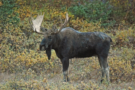 Powerful full body photo of bull moose in North Park, Colorado in early morning light during Autumn