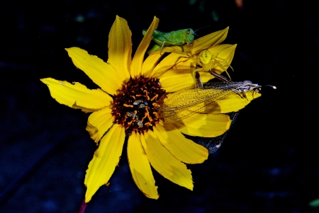 A yellow spider pins a dragonflies wing as a green grasshopper observes on a yellow sunflower at Paint Mines Interpretive Park near Calhan, Colorado photo