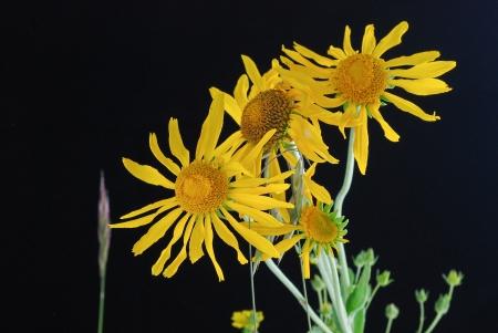 コロラド州サウスパーク地区黄色ゴールデンアイ (Viguiera 多花種) 咲く、夏の終わり。