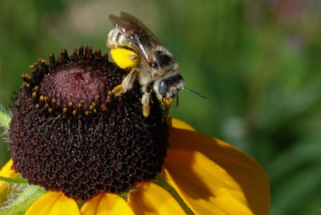 garden of eden: Bee extracting pollen from sunflower (Helianthus annuus) in the Garden of Eden area along the Catamount Creek hike from Green Mountain Falls, Colorado. Stock Photo