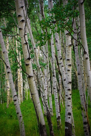 Vast aspen forest on Kebler Pass, near Crested Butte with green grass and trees  photo