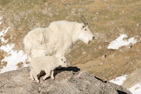 Mountian goat mother and baby posing at 14,000 feet in Mount Evans Wilderness, Colorado photo