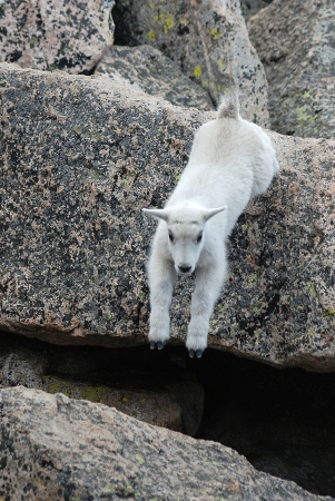 mount evans: Adorable mountian goat baby jumps from rock to rock at 14,000 feet in the MOunt Evans Wilderness Area, Colorado  Stock Photo