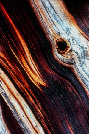 mount evans: A lightning strine above timberline creatded a colorful, abstract pattern in the wood of a bristlecone pine in the Mount Evans Wilderness Area