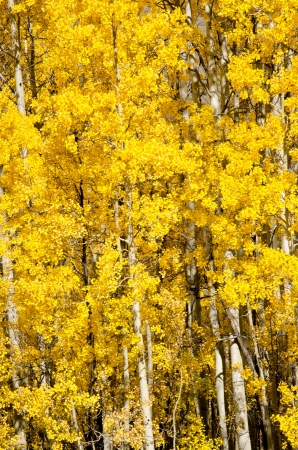 aspen grove: Gorgeuos yellow aspen grove in late September in the Gunnison National Forest.