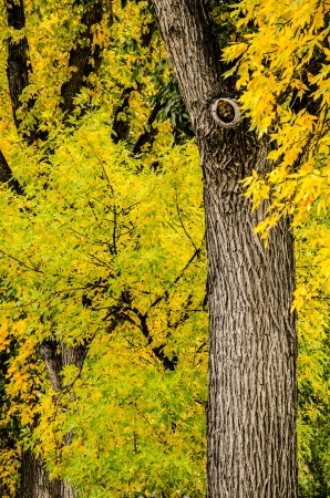Old trees provide spectacular fall coloras in Colorado Springs, Colorado photo