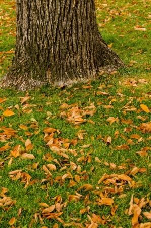 Dead leaves on green grass with tree trunk makes nice composition in Colorado SPrings, Colorado photo