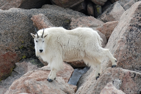 mount evans: A mountian goat gracefully prancs among boulders on top of Mount Evans, Colorado. Stock Photo