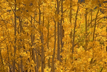 aspen grove: Gold light is filtered by  gold aspen leaves in a splendid aspen grove along Gothic Road near Crested Butte, Colroado