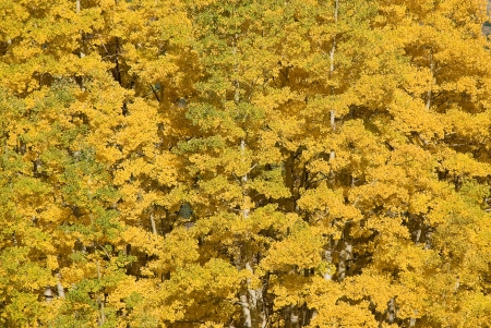 aspen grove: A beautiful yellow aspen grove in late September in the Gothic Valley near Crested Butte, Colroado  Stock Photo