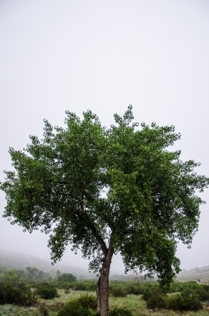 compostion: A single tree against a high key foggy background on a July morning at Garden of the Gods Park. Stock Photo
