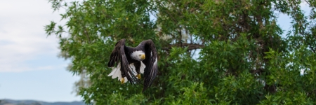 A noble bald eagle shows his attack speed and form as he focuses on his prey  photo