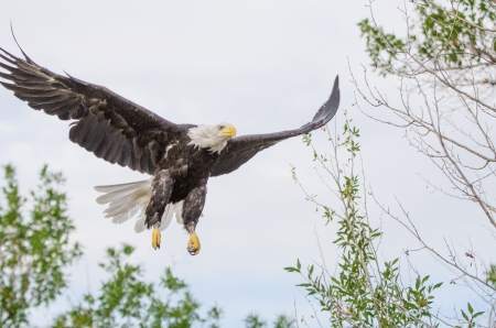 A bald eagle soars in for a landing on a dead tree limb which overlooks a field of tall grass  Stock Photo