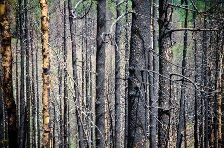 Remnants of burned trees from the ferocious Waldo Canyon fire in Colorado Springs area