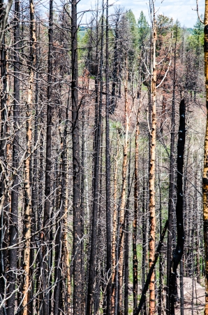 Remnants of burned trees from the ferocious Waldo Canyon fire on Rampart Range Road near Colorado Springs  Imagens