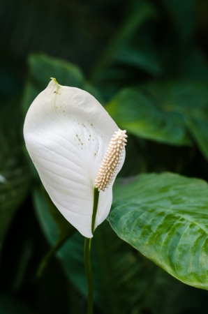 spp: Close-up of tropical, white Peace Lilly, Spathiphyllum spp