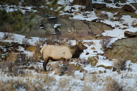 battling: A bull elk with full rack in snowy field during late November near Rocky Mountain National Park