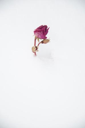 rose bud: Unica gemma rosa conficca fuori di neve fresca