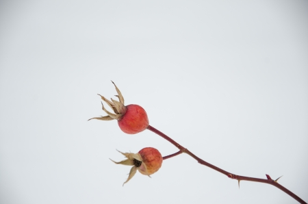 compostion: Rosehips are set against a background of fresh snow in November