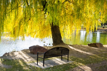 Bench under weeping willow with yellow leaves during the pinnacle of autumns cahnging colors in Monument Valley Park in Colorado Springs, Colorado.