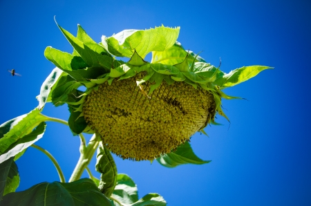 giant sunflower: Giant sunflower head against a nice clear, blue sky in September  Stock Photo