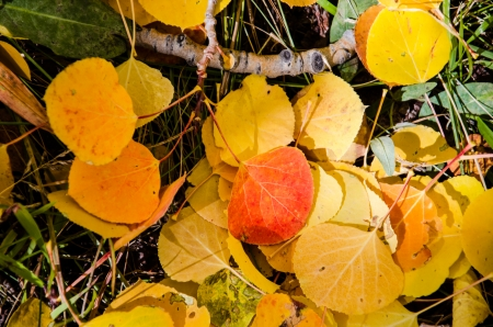 Colorful aspen leaves on forest floor, Cripple Creek, Colorado photo