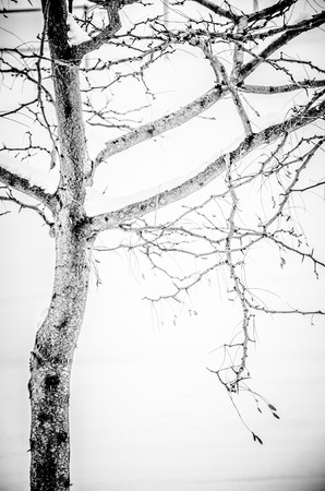 compostion: Black and white image of single tree against white snow Stock Photo