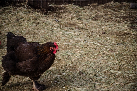 An exotic, brown chicken for children to feed at the Cheyenne Mountain Zoo in Colorado Springs photo