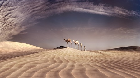 camel desert: Three camels and a nomad