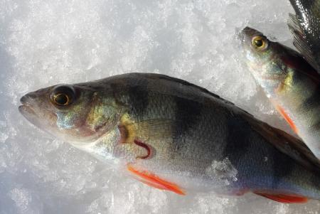 sanguijuela: Una perca europea y una sanguijuela pescado en la nieve