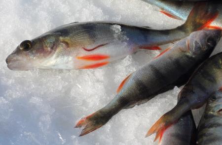 sanguisuga: Un pesce persico europeo e una sanguisuga pesce sulla neve