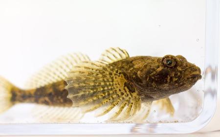 An European bullhead fish in aquarium