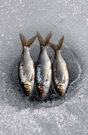 rutilus: Three roach lying on ice above a line fishing hole