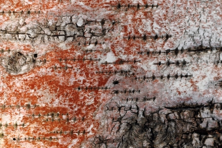 The surface of an old rotten birch, covered with red algae Stock Photo