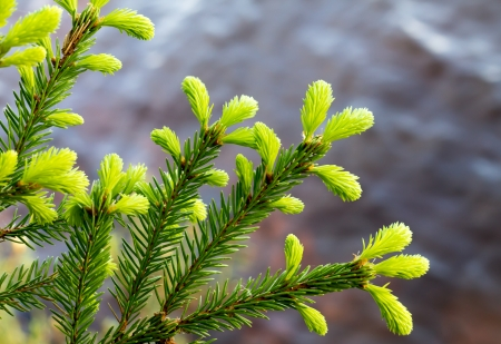 picea: The light green needles of spruce showing the annual growth Stock Photo