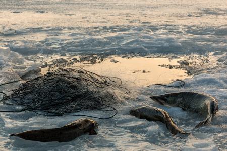 burbot: Redes de pesca de invierno con la captura acostado en el hielo Foto de archivo