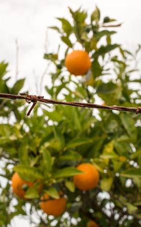 Forbidden fruits behind barbed wire photo