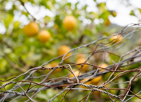 unreachable: Forbidden fruits behind iron netting fence Stock Photo