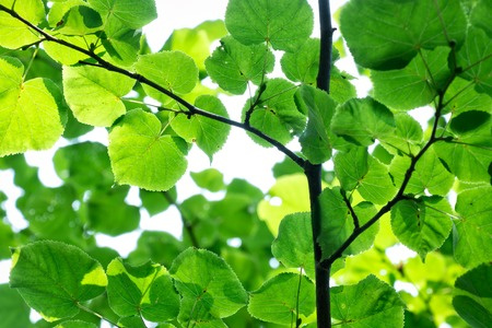 tilia cordata: Green sprigs of mall-leaved lime in a deciduous forest Stock Photo