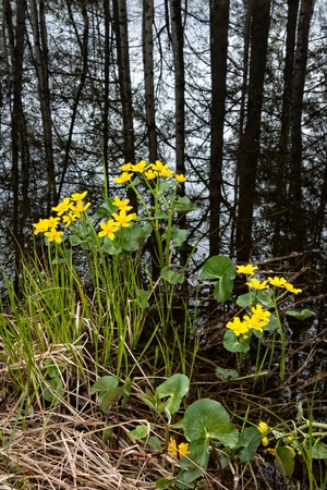 tree marigold: Yellow kingcup flowers with trees reflecting from the lake in the background Stock Photo