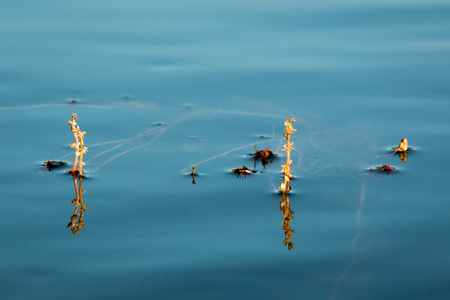 alternate: Inflorescence of Alternate water-milfoil water plant floating on water surface.