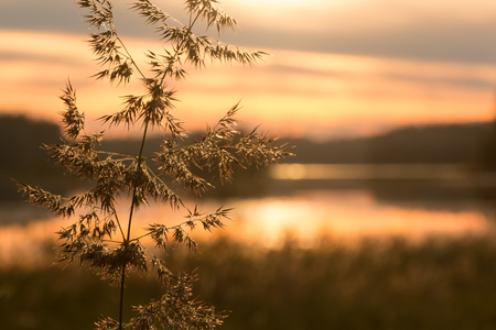 sunset lake: Close-up shot of a bushgrass spike with sunset lake in the background Stock Photo