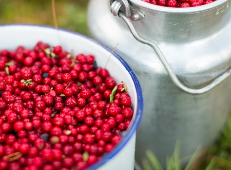 nostalgic: Red lingonberries stored in nostalgic buckets after berry picking with strong bokeh. Stock Photo