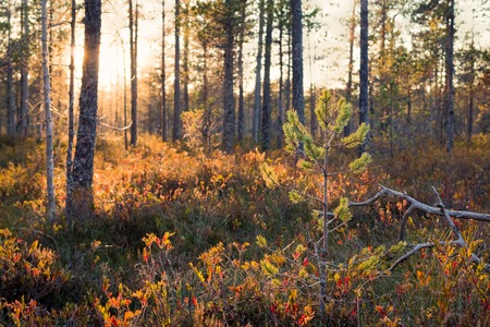 pinus sylvestris: Small pine growing at a swamp landscape during sunset in Finland