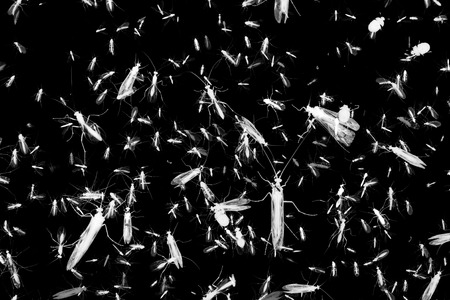 mosquitos: Negative style black and white composition photo of lots of insects with wings on black background. Stock Photo