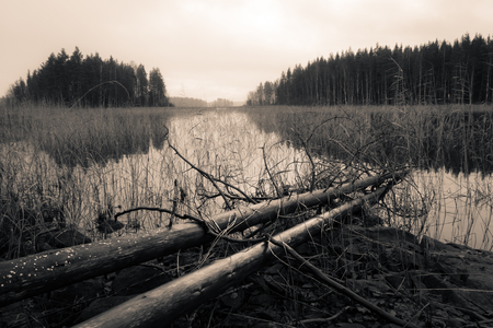 arboles secos: Árboles muertos que mienten en una orilla de un lago en otoño, Sepia cambiante paisaje blanco y negro. Foto de archivo