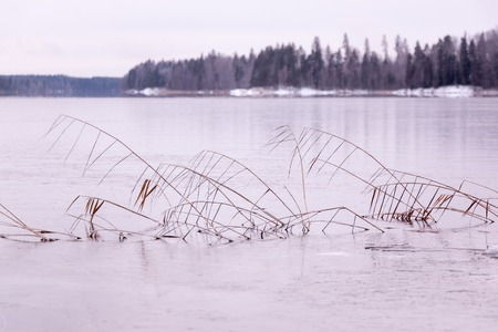 phragmites: Dried reeds at an ice-covered lake lake in Finland