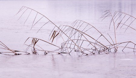 phragmites: Dried reeds standing on the ice of a frozen lake in Finland