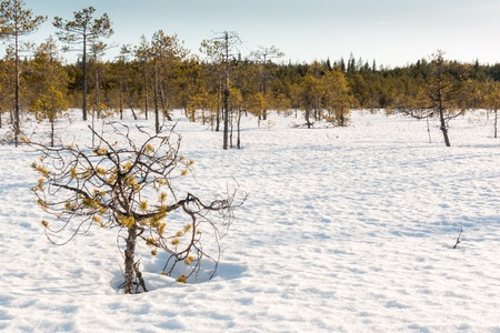 scots pine: Small stunted pine trees growing on a snow covered Nordic bog on a sunny spring day.